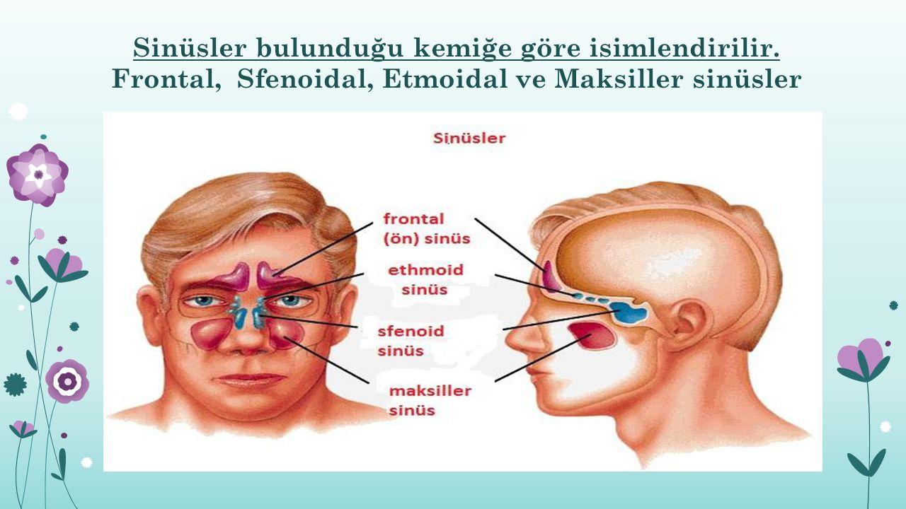 Sinüsler bulunduğu kemiğe göre isimlendirilir.