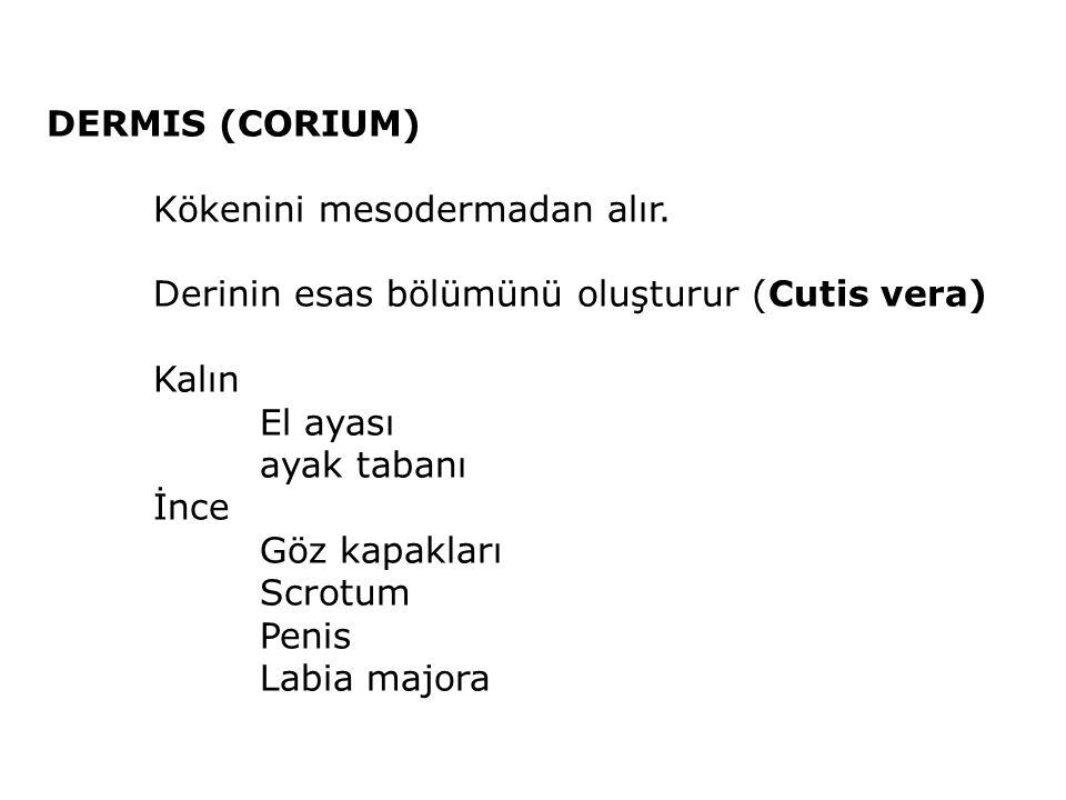 DERMIS (CORIUM) Kökenini mesodermadan alır. Derinin esas bölümünü oluşturur (Cutis vera) Kalın. El ayası.