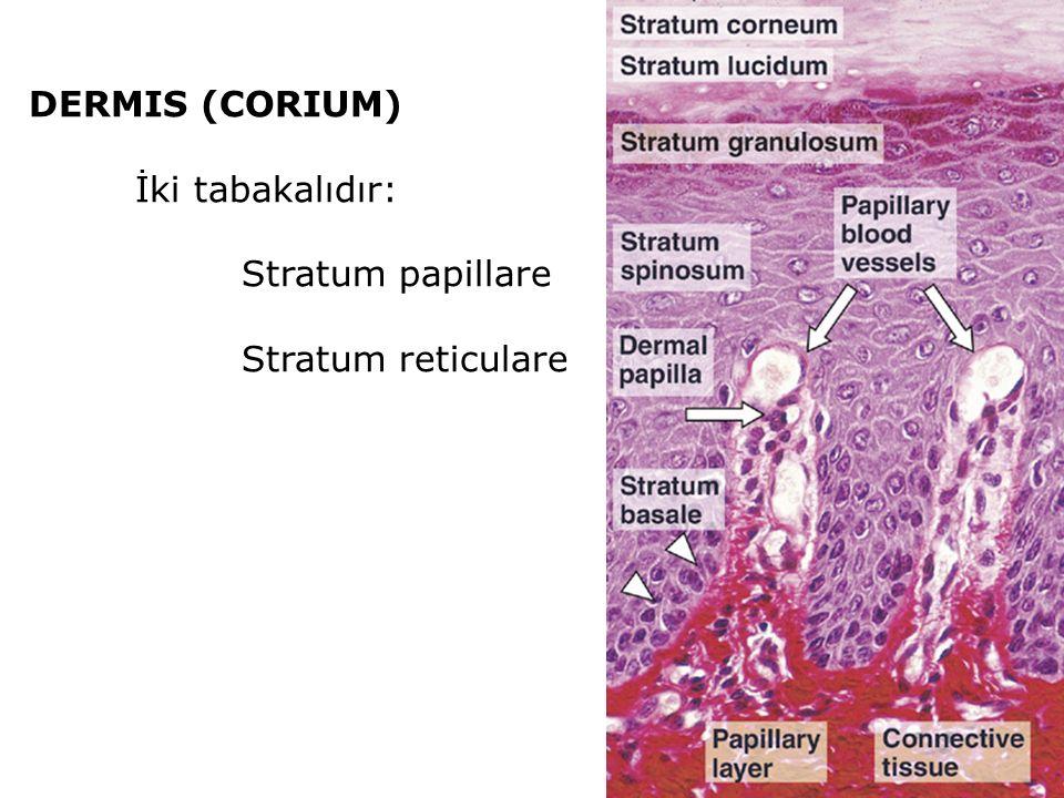 DERMIS (CORIUM) İki tabakalıdır: Stratum papillare Stratum reticulare