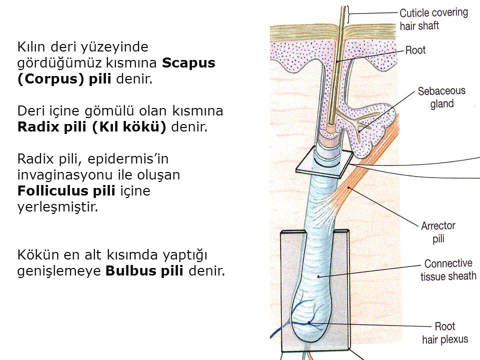 Kılın deri yüzeyinde gördüğümüz kısmına Scapus (Corpus) pili denir.