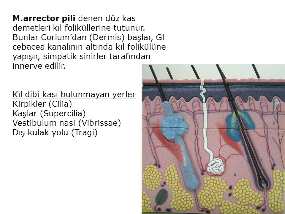 M. arrector pili denen düz kas demetleri kıl foliküllerine tutunur