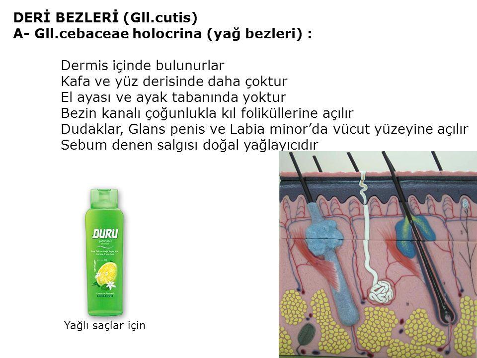 DERİ BEZLERİ (Gll.cutis) A- Gll.cebaceae holocrina (yağ bezleri) :