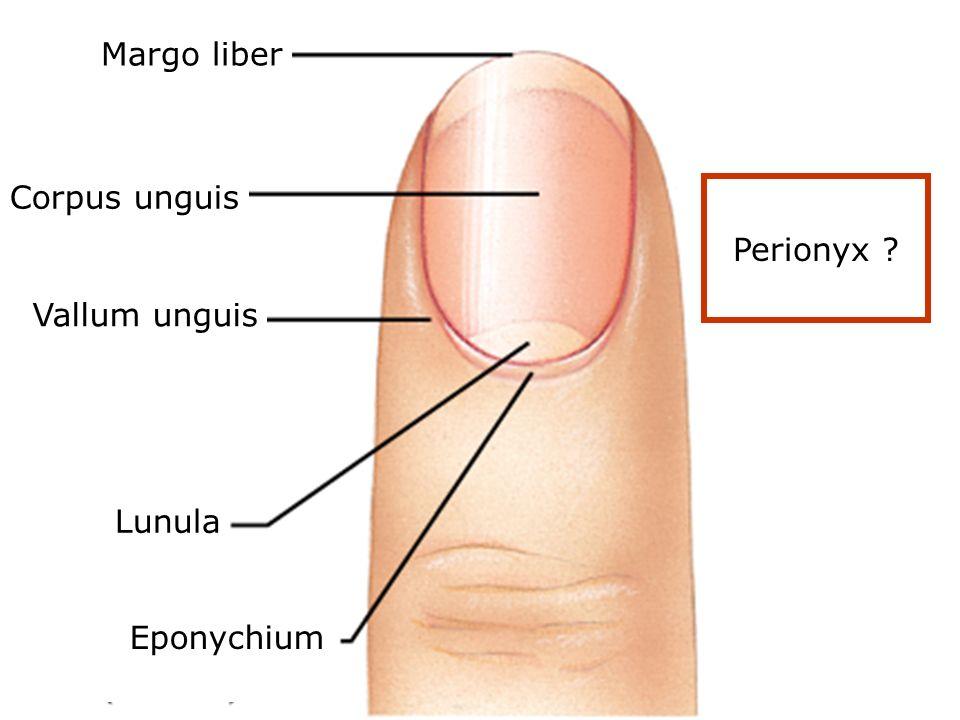 Margo liber Corpus unguis Perionyx Vallum unguis Lunula Eponychium