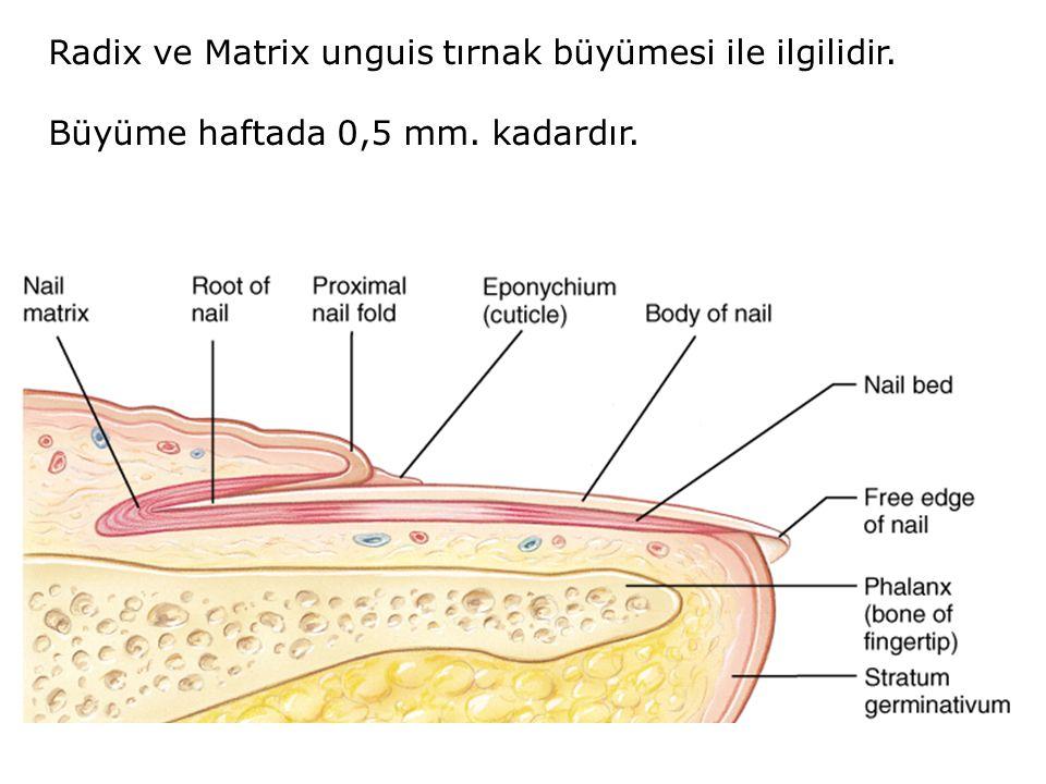 Radix ve Matrix unguis tırnak büyümesi ile ilgilidir.