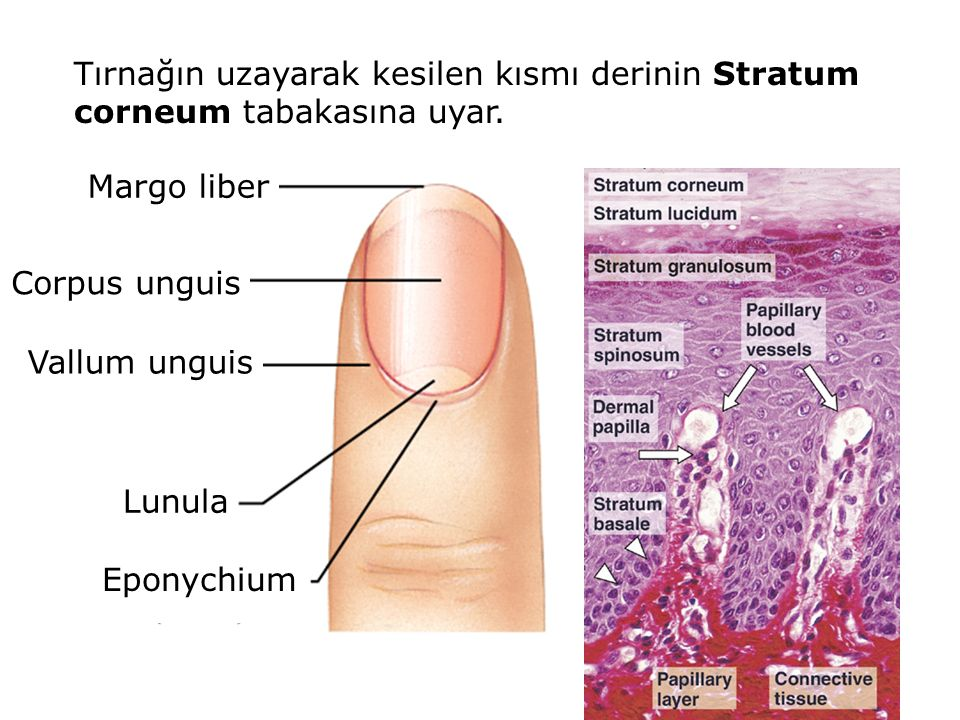 Tırnağın uzayarak kesilen kısmı derinin Stratum corneum tabakasına uyar.