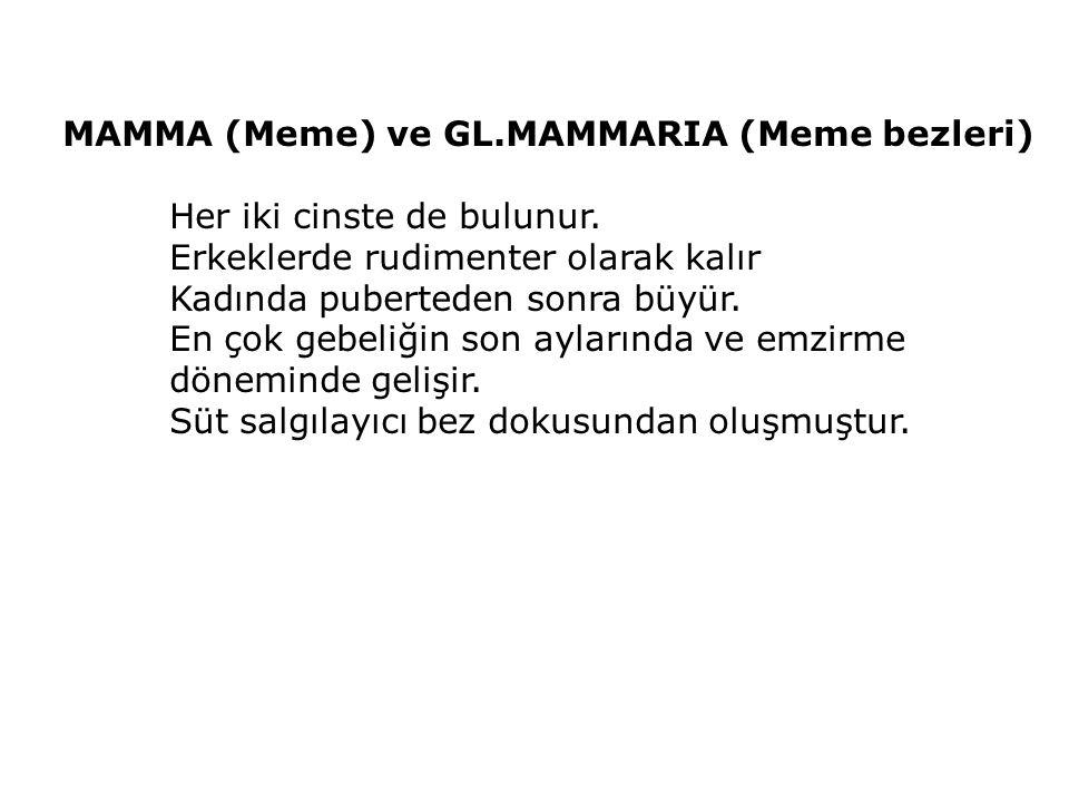 MAMMA (Meme) ve GL.MAMMARIA (Meme bezleri)