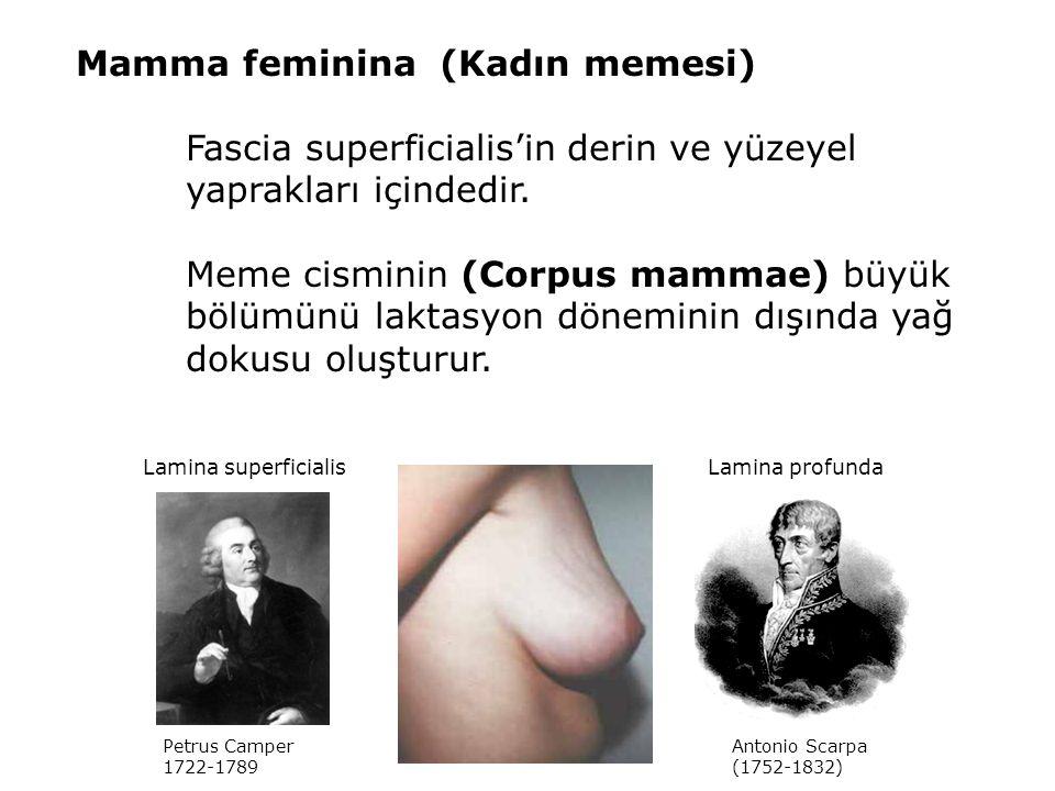 Mamma feminina (Kadın memesi)