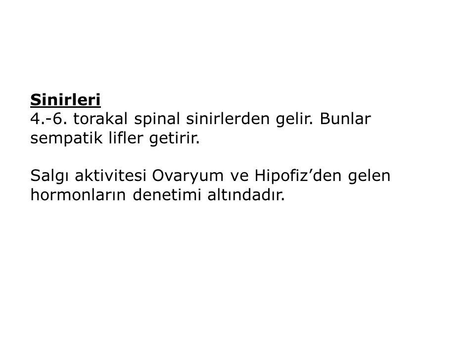 Sinirleri 4.-6. torakal spinal sinirlerden gelir. Bunlar sempatik lifler getirir.