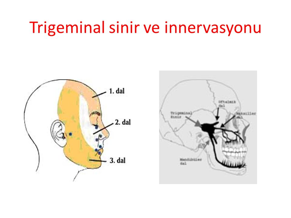 Trigeminal sinir ve innervasyonu