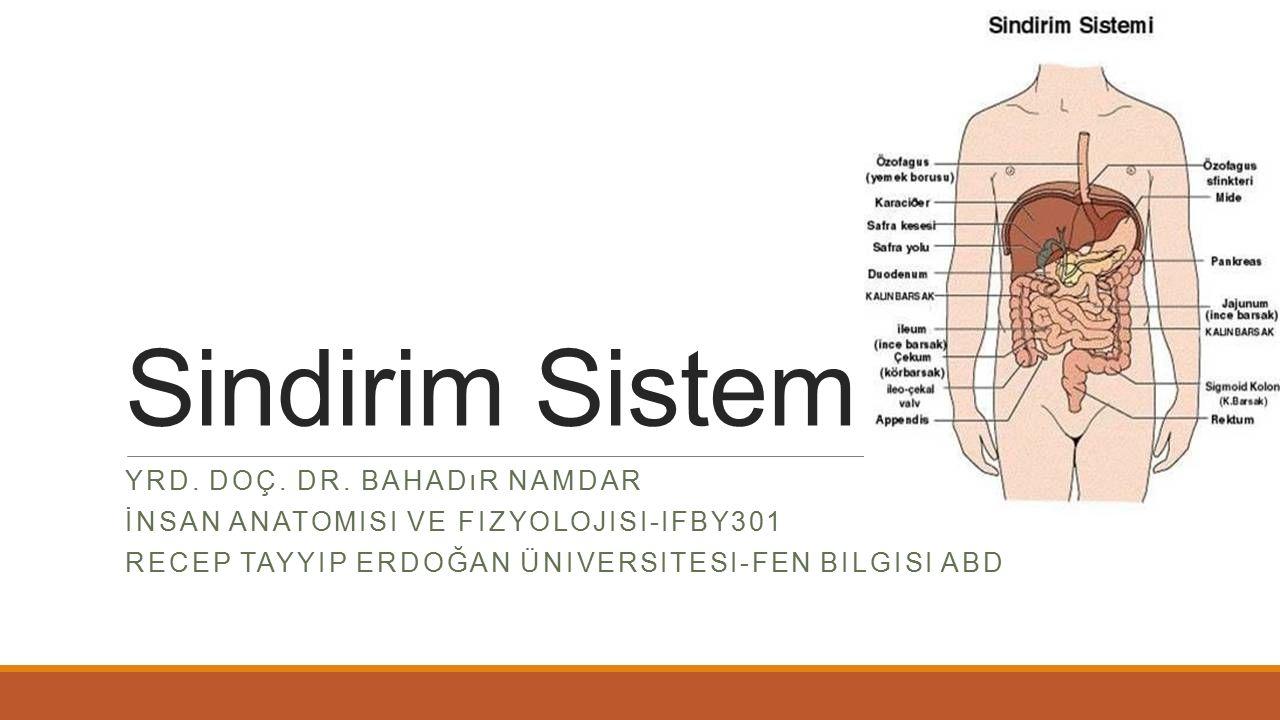 Sindirim Sistemi Yrd. Doç. Dr. Bahadır Namdar