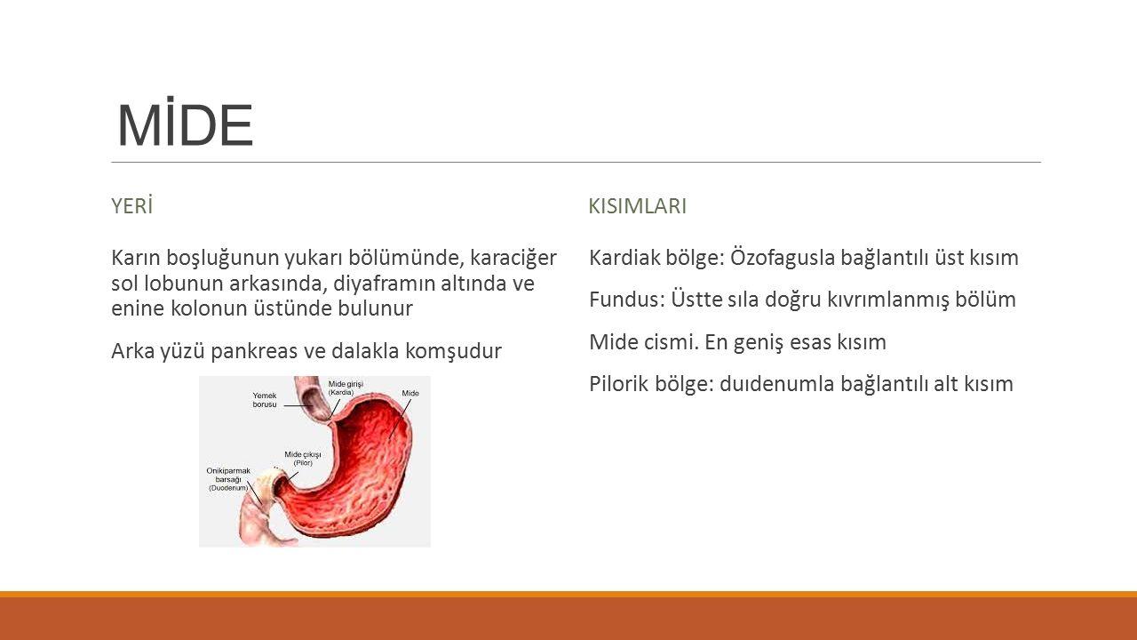 MİDE YERİ. KISIMLARI. Karın boşluğunun yukarı bölümünde, karaciğer sol lobunun arkasında, diyaframın altında ve enine kolonun üstünde bulunur.