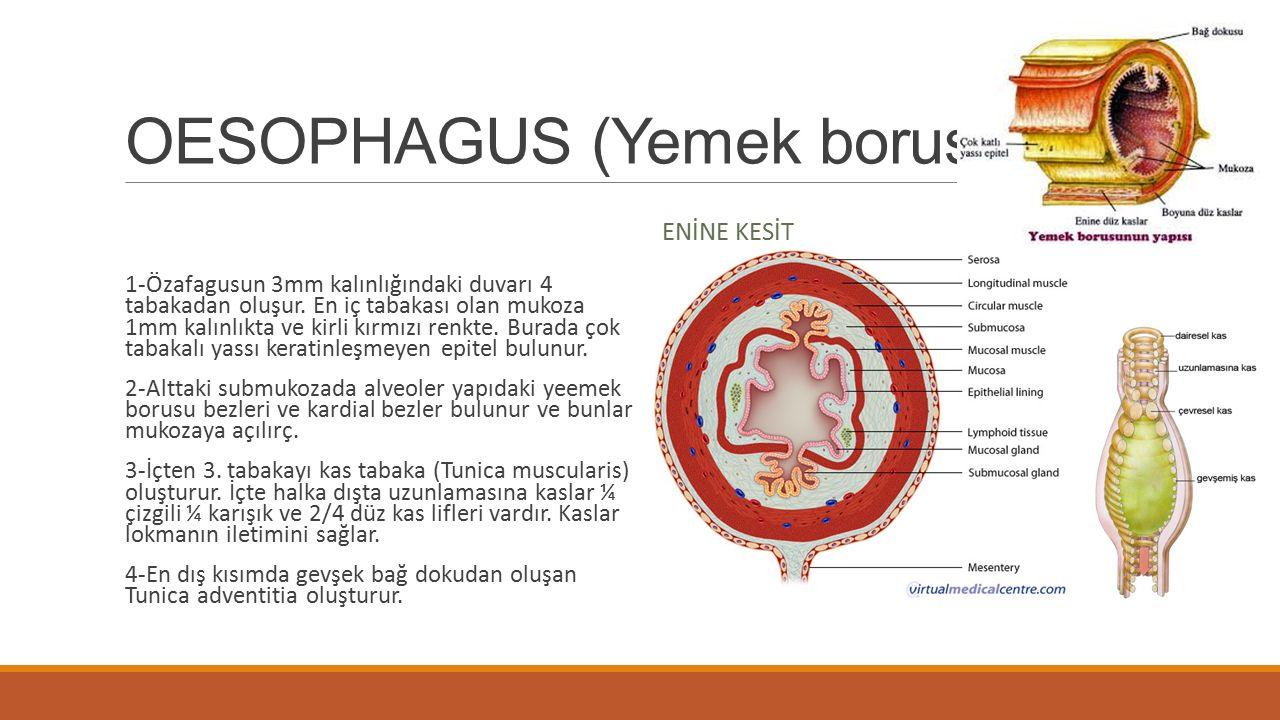 OESOPHAGUS (Yemek borusu)