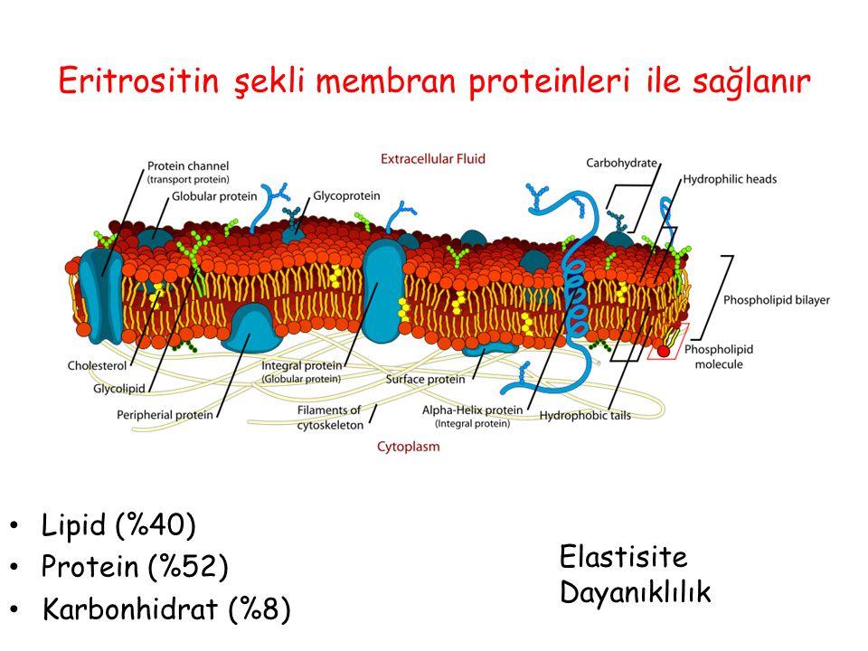 Eritrositin şekli membran proteinleri ile sağlanır
