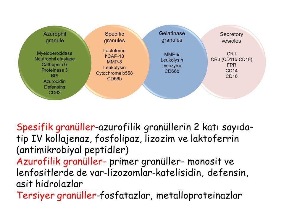Spesifik granüller-azurofilik granüllerin 2 katı sayıda- tip IV kollajenaz, fosfolipaz, lizozim ve laktoferrin (antimikrobiyal peptidler)
