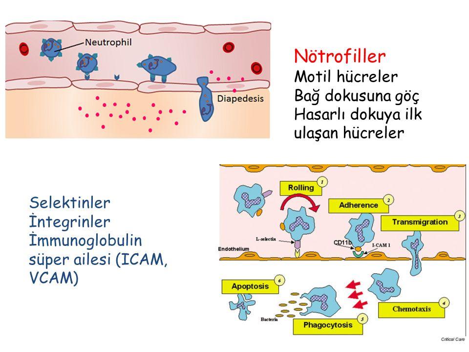 Nötrofiller Motil hücreler Bağ dokusuna göç