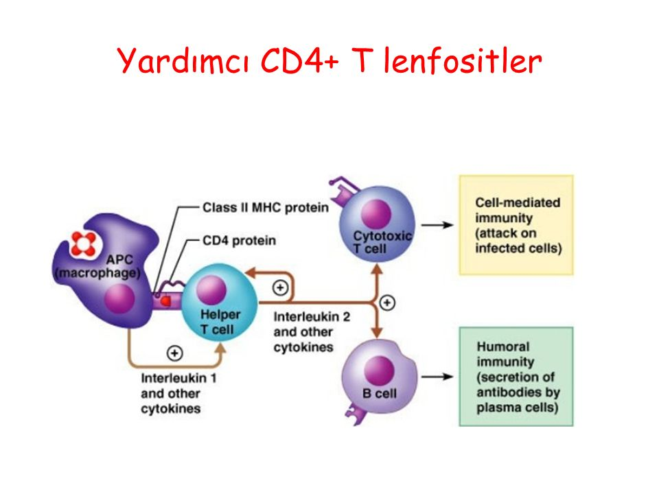 Yardımcı CD4+ T lenfositler
