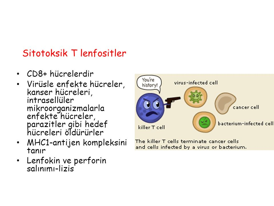 Sitotoksik T lenfositler