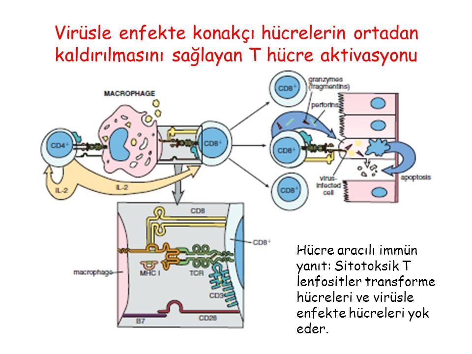 Virüsle enfekte konakçı hücrelerin ortadan kaldırılmasını sağlayan T hücre aktivasyonu