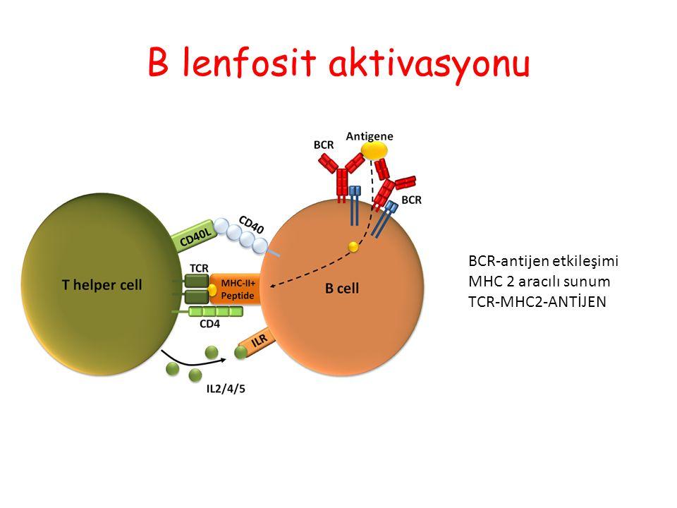B lenfosit aktivasyonu