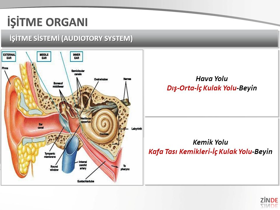 Dış-Orta-İç Kulak Yolu-Beyin Kafa Tası Kemikleri-İç Kulak Yolu-Beyin