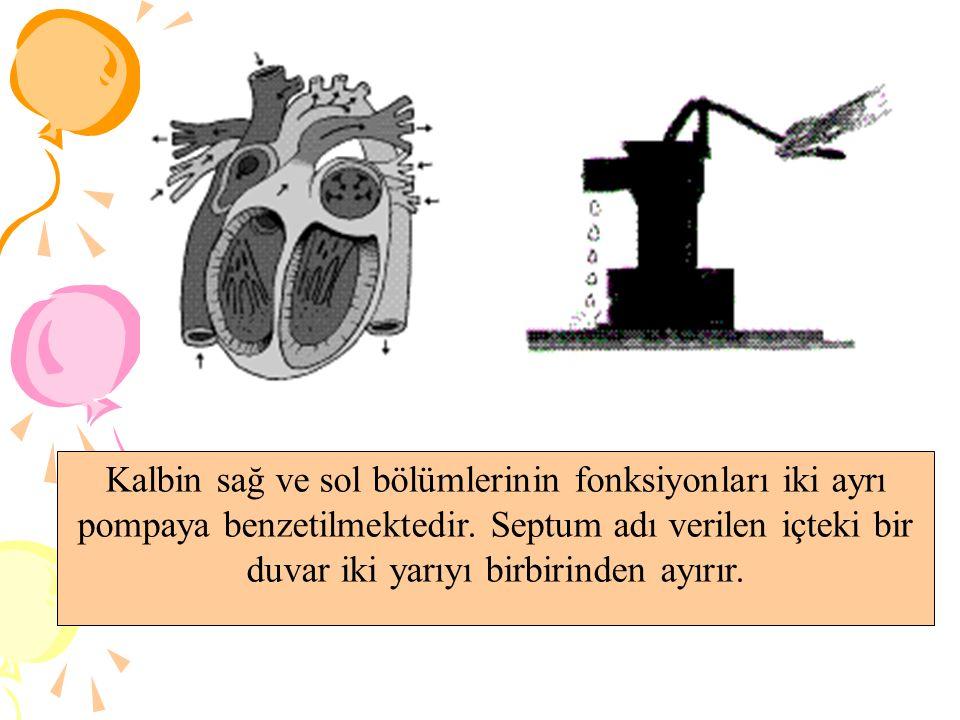 Kalbin sağ ve sol bölümlerinin fonksiyonları iki ayrı pompaya benzetilmektedir.