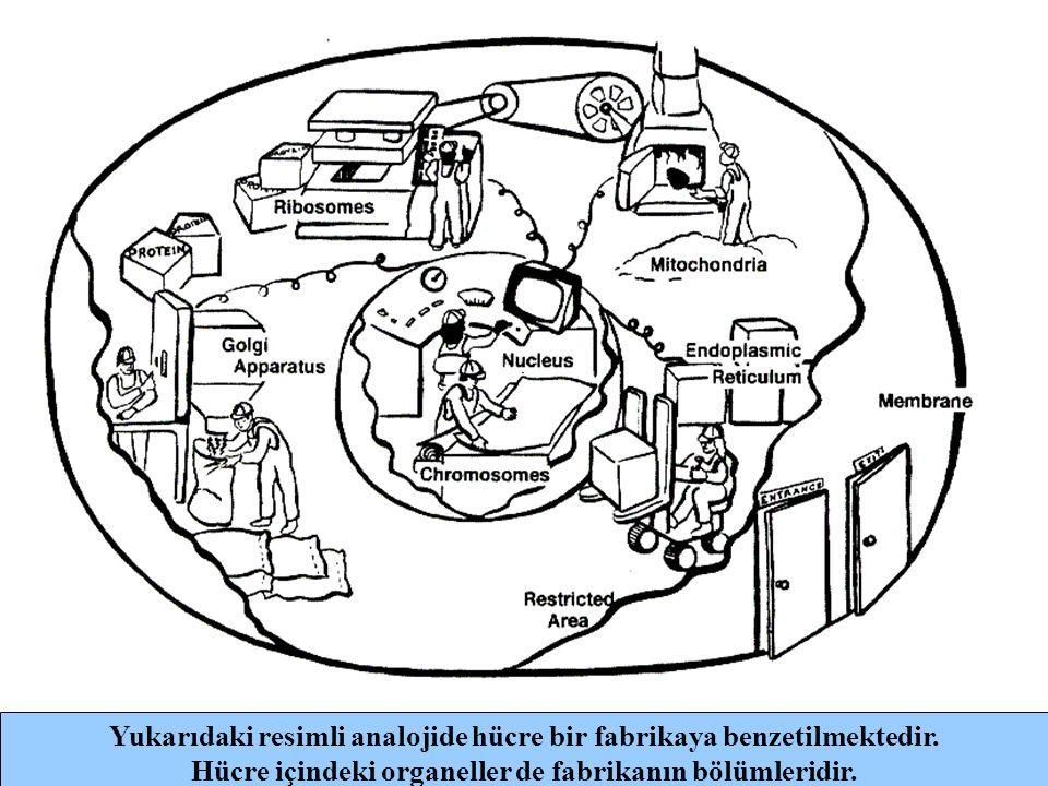 Yukarıdaki resimli analojide hücre bir fabrikaya benzetilmektedir.