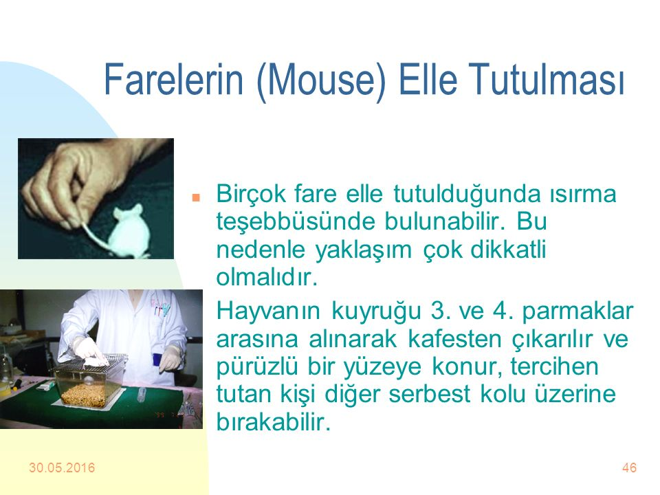 Farelerin (Mouse) Elle Tutulması