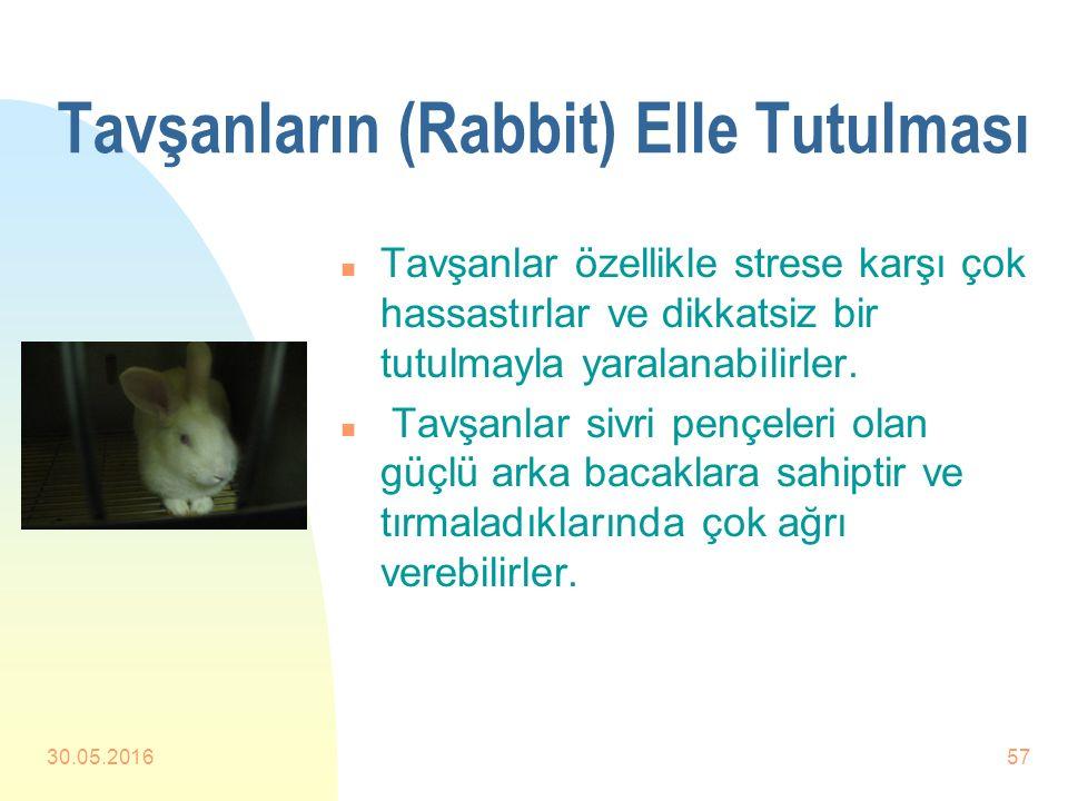 Tavşanların (Rabbit) Elle Tutulması