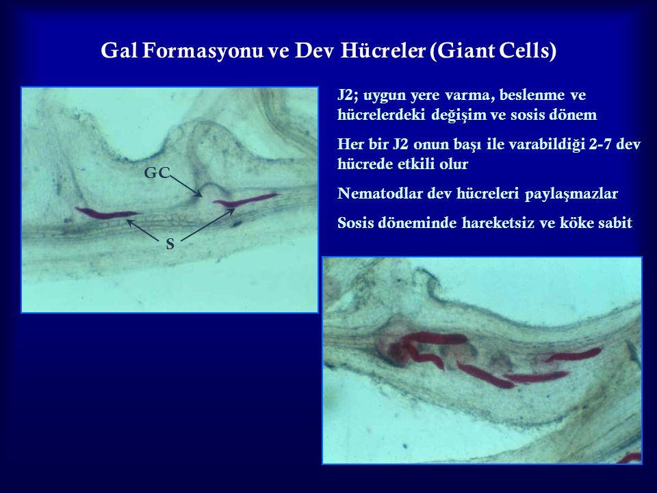 Gal Formasyonu ve Dev Hücreler (Giant Cells)
