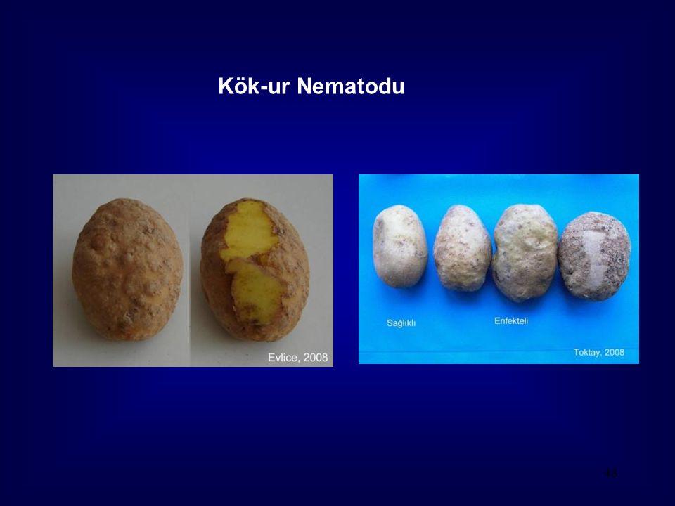 Kök-ur Nematodu