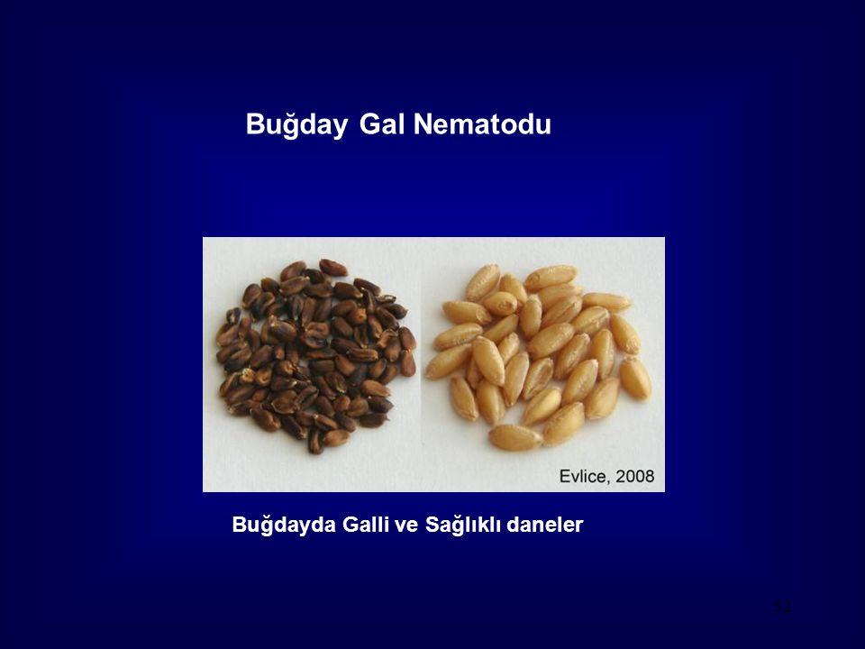 Buğday Gal Nematodu Buğdayda Galli ve Sağlıklı daneler