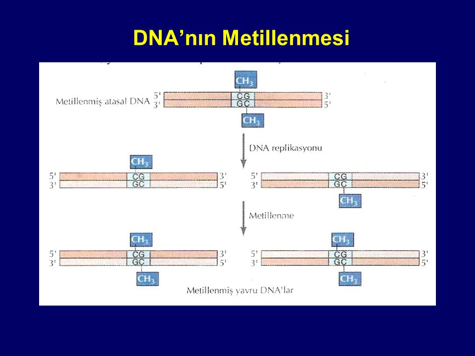 DNA'nın Metillenmesi