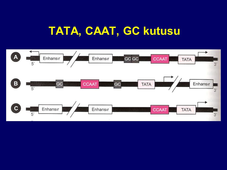 TATA, CAAT, GC kutusu