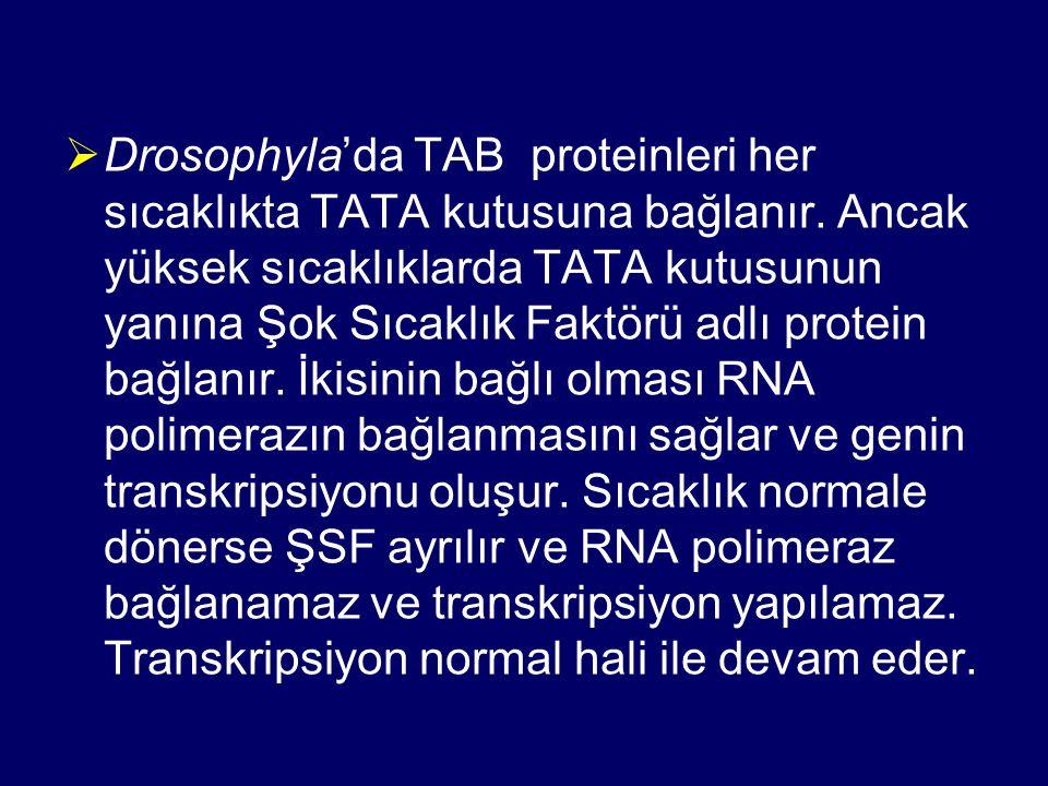 Drosophyla'da TAB proteinleri her sıcaklıkta TATA kutusuna bağlanır