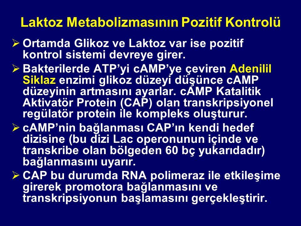 Laktoz Metabolizmasının Pozitif Kontrolü