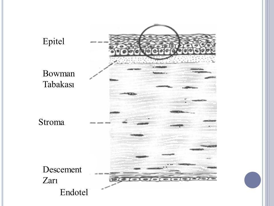 Epitel Bowman Tabakası Stroma Descement Zarı Endotel