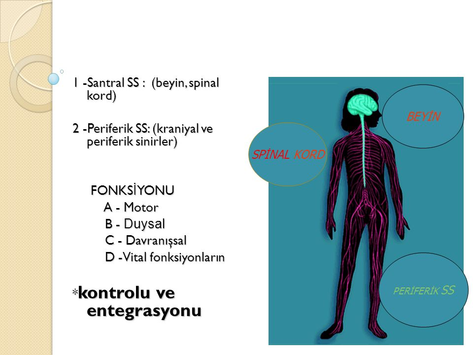 1 -Santral SS : (beyin, spinal kord)