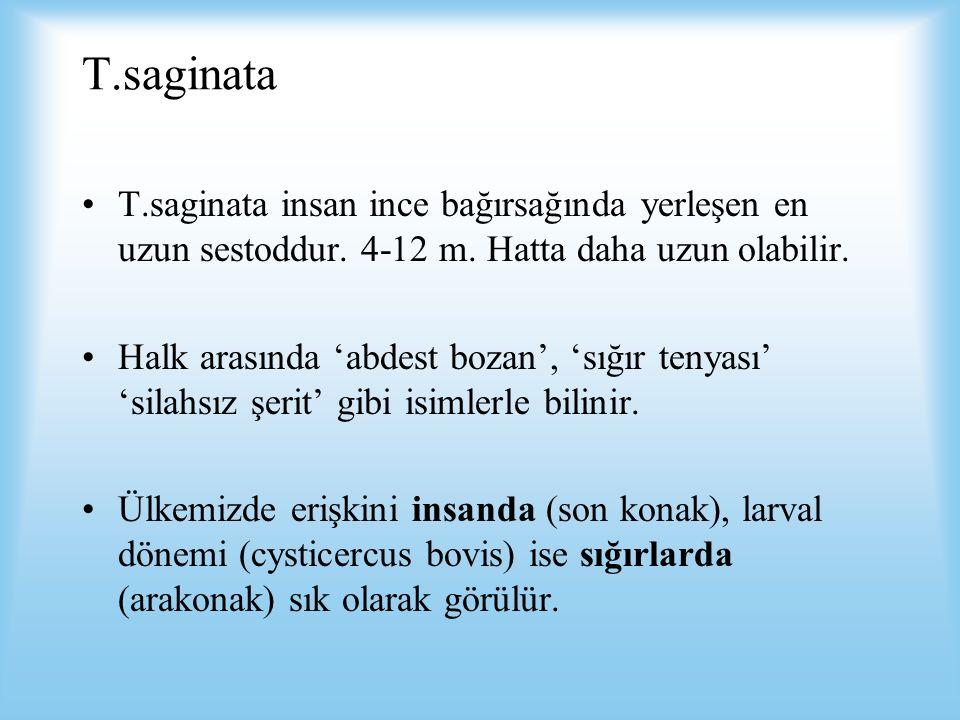 T.saginata T.saginata insan ince bağırsağında yerleşen en uzun sestoddur. 4-12 m. Hatta daha uzun olabilir.
