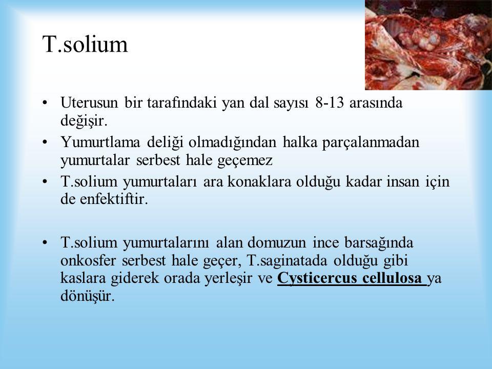 T.solium Uterusun bir tarafındaki yan dal sayısı 8-13 arasında değişir.