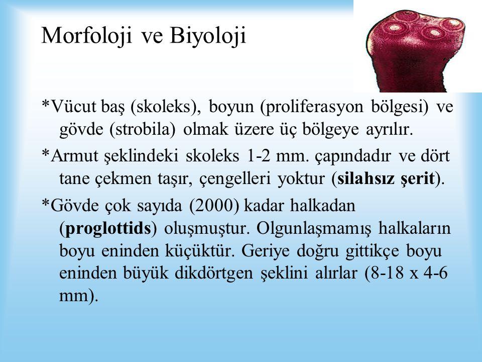 Morfoloji ve Biyoloji *Vücut baş (skoleks), boyun (proliferasyon bölgesi) ve gövde (strobila) olmak üzere üç bölgeye ayrılır.