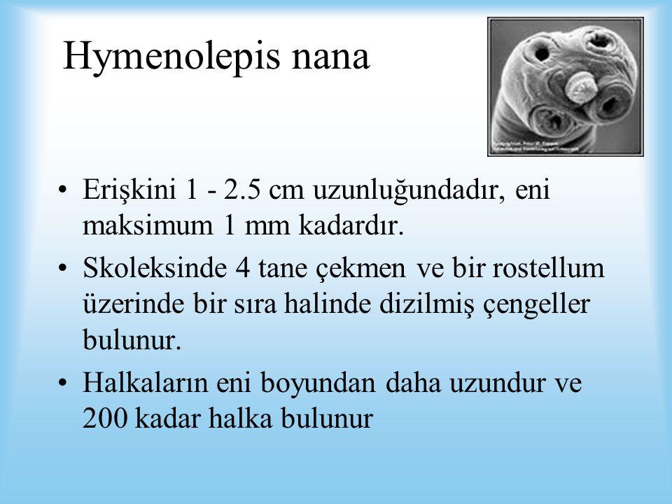 Hymenolepis nana Erişkini 1 - 2.5 cm uzunluğundadır, eni maksimum 1 mm kadardır.