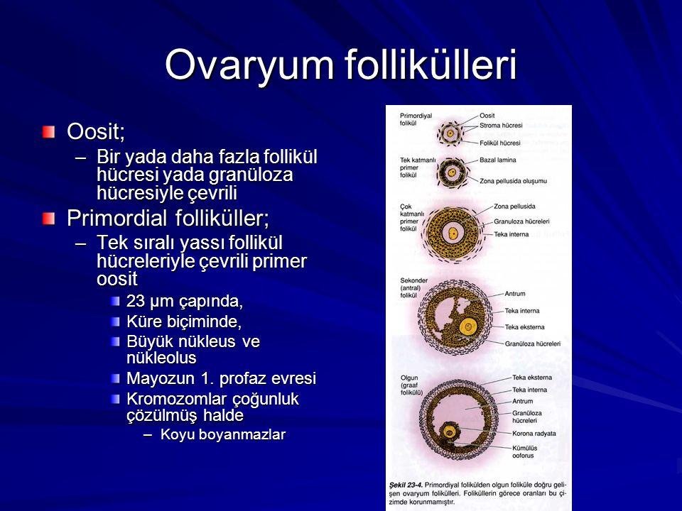 Ovaryum follikülleri Oosit; Primordial folliküller;