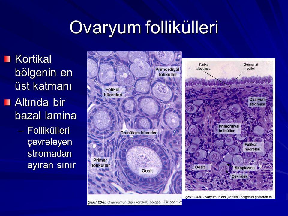 Ovaryum follikülleri Kortikal bölgenin en üst katmanı