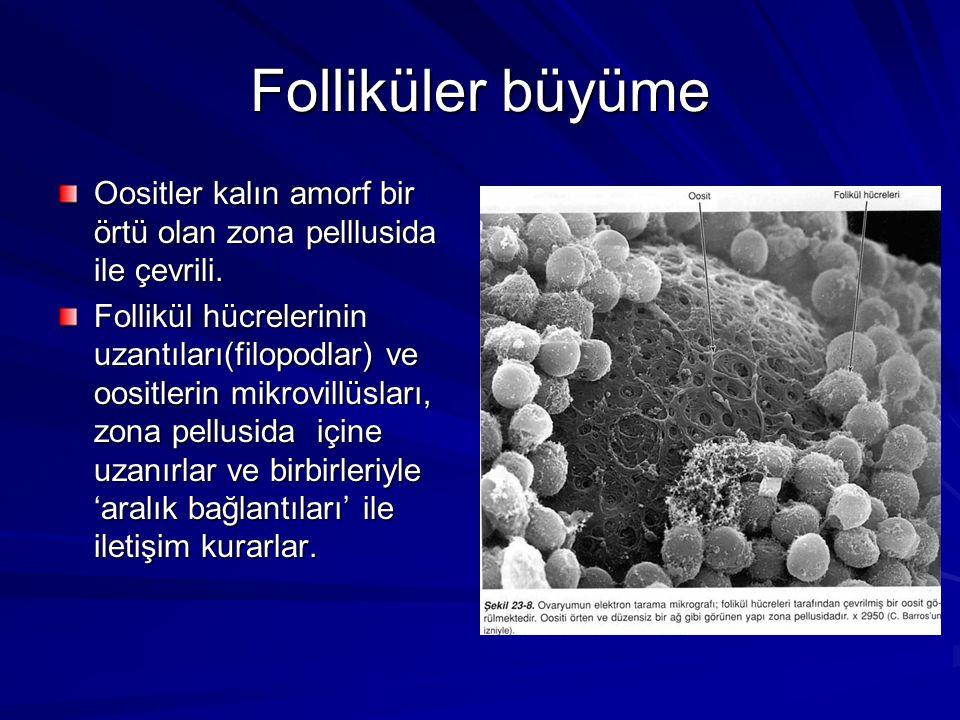 Folliküler büyüme Oositler kalın amorf bir örtü olan zona pelllusida ile çevrili.