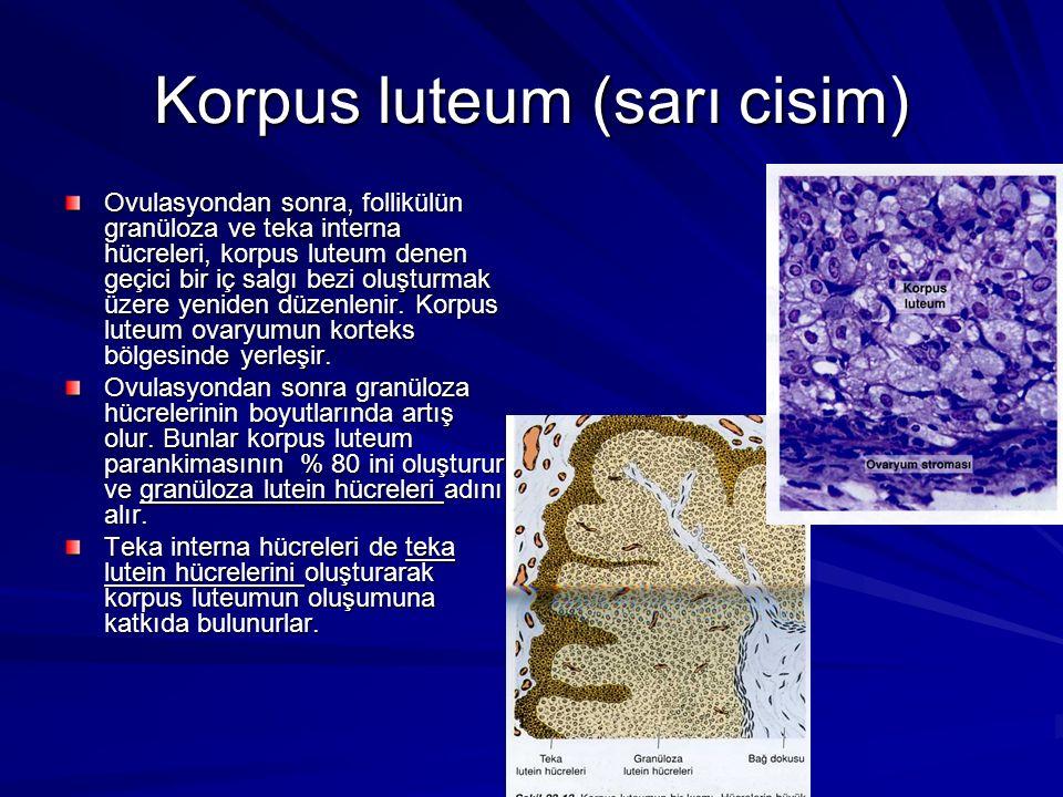 Korpus luteum (sarı cisim)