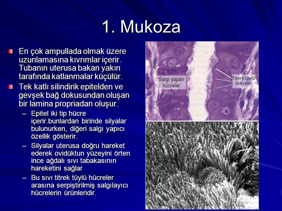 1. Mukoza En çok ampullada olmak üzere uzunlamasına kıvrımlar içerir. Tubanın uterusa bakan yakın tarafında katlanmalar küçülür.