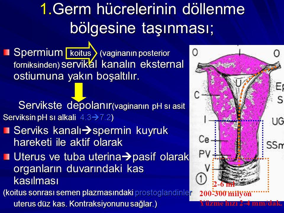 1.Germ hücrelerinin döllenme bölgesine taşınması;