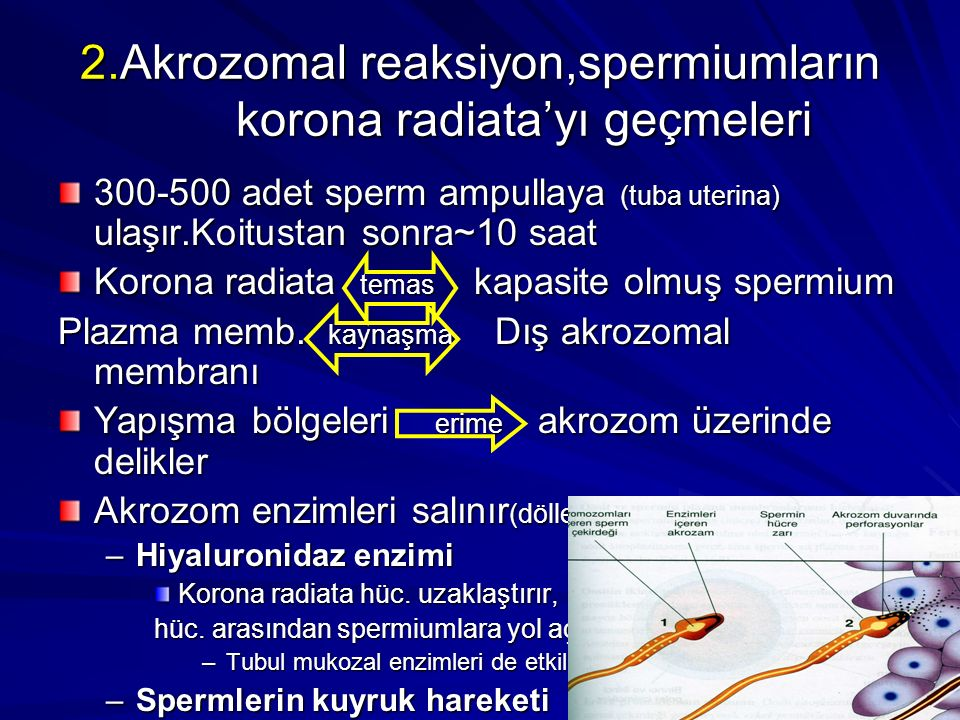 2.Akrozomal reaksiyon,spermiumların korona radiata'yı geçmeleri