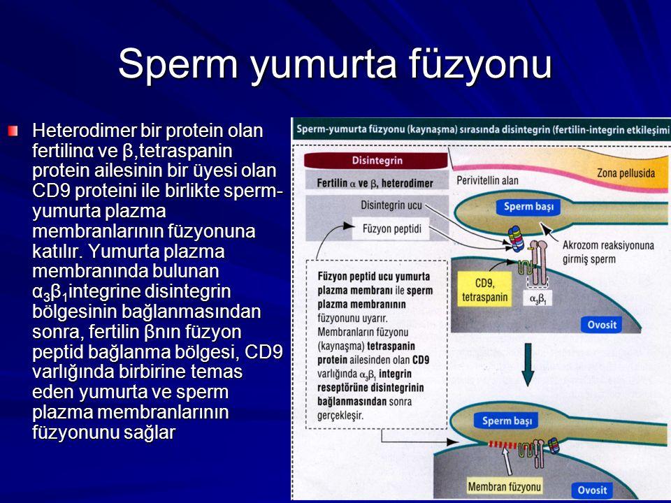 Sperm yumurta füzyonu