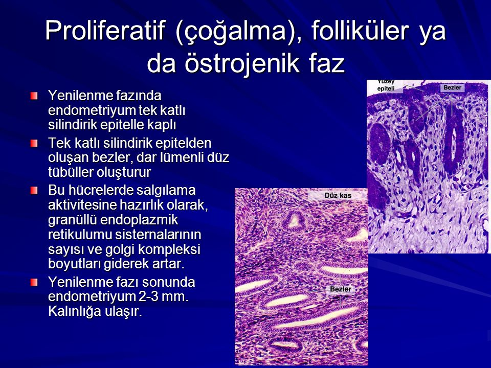 Proliferatif (çoğalma), folliküler ya da östrojenik faz